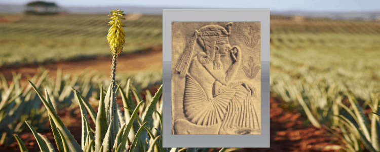 image of aloe field owned by Forever Living with a small overlay of an ancient tablet showing aloe use in history