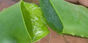 image-aloe vera plant leaf broken in half showing the clear aloe gel inside the aloe leaf