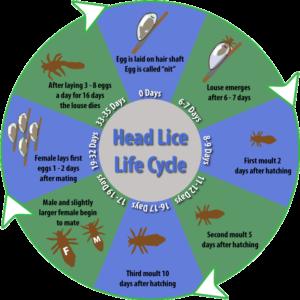 image - Head Lice life cycle