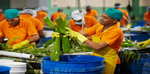 Workers in Aloe Vera processing plant.